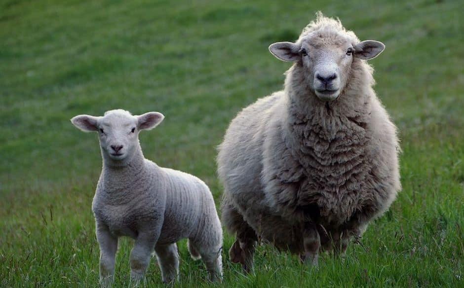 owce, które się strzyże z wełny