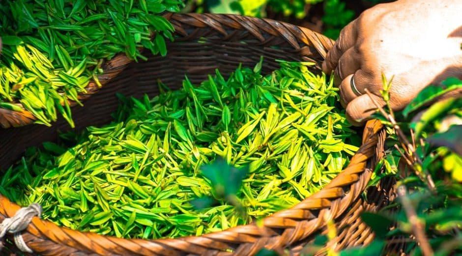 zebrane liście herbaty