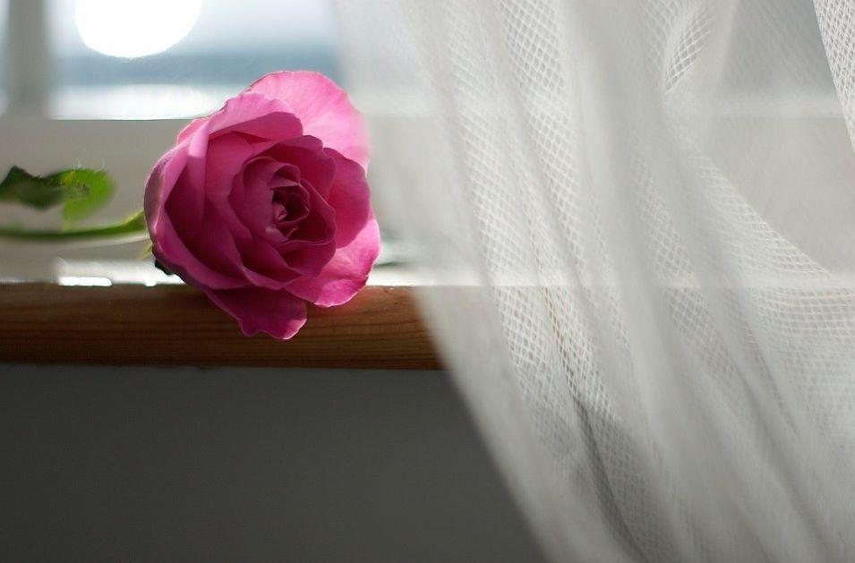 róża koło firanki
